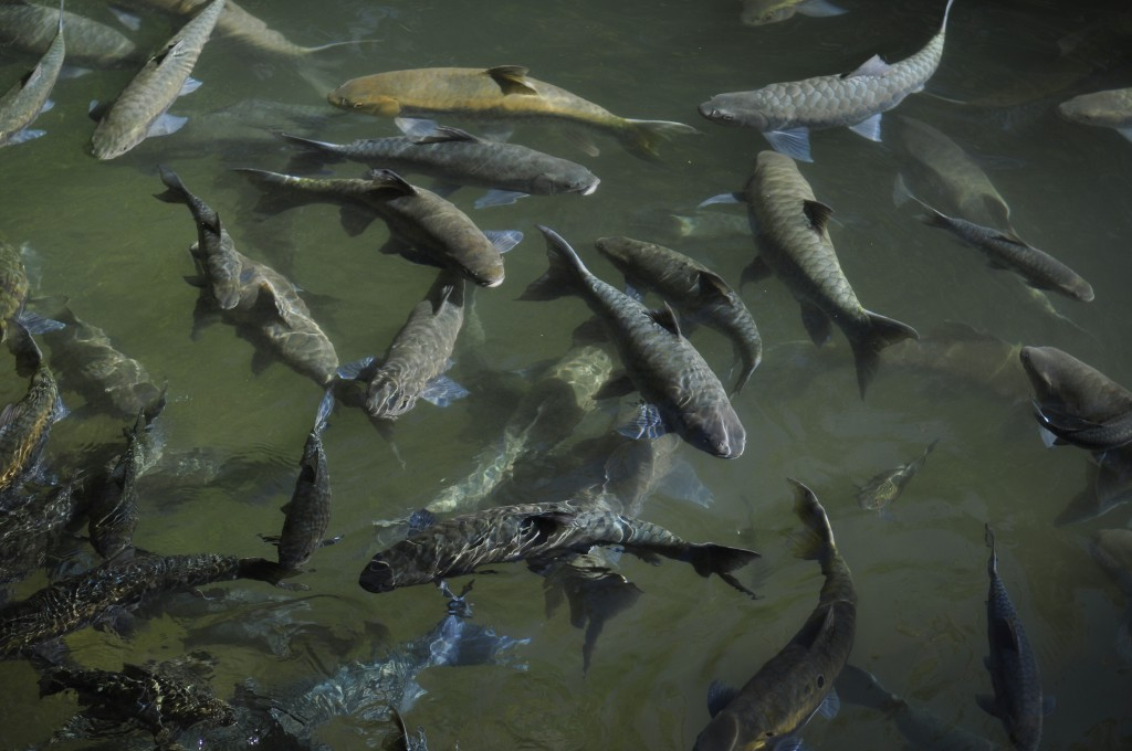 De blå fiskene fant vi i flere av grottene. De liker grønnsaker selv, men er visstnok giftige. Så vegetarkost er nok ikke så sunt som man skal ha det til.