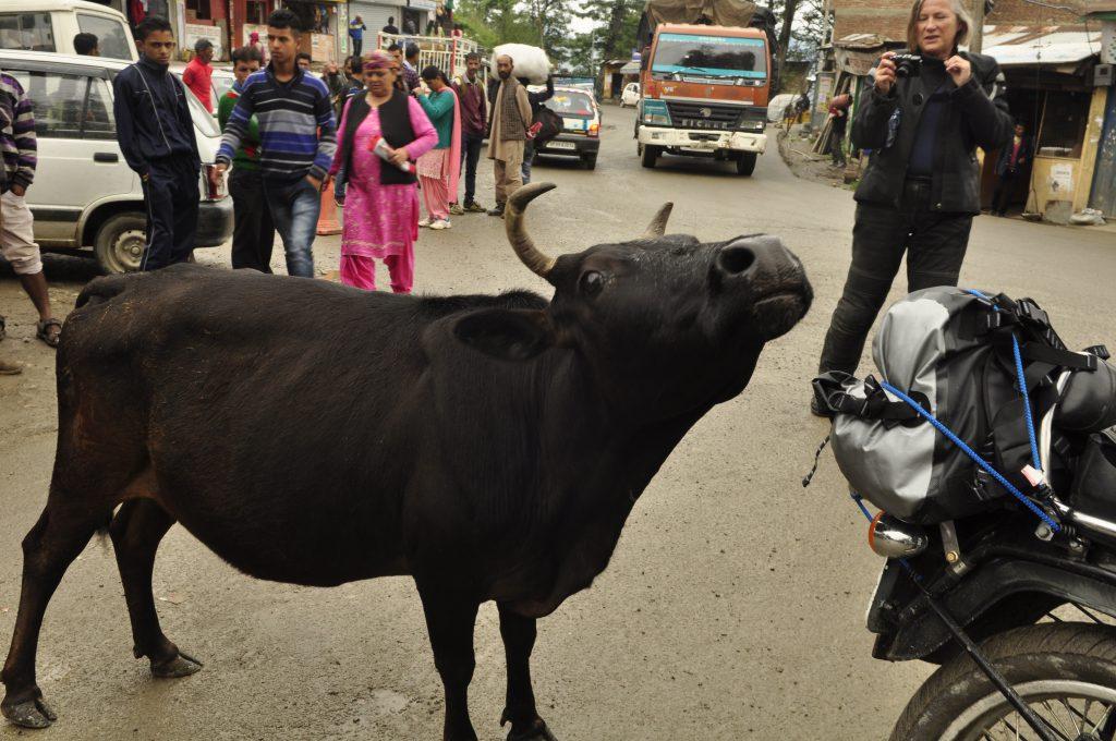 Kuene i India er hellige, og sannsynligvis mye mer verdt en deg